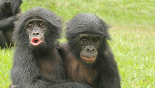 Один молодой бонобо обнимает другого после того как тот проиграл в драке