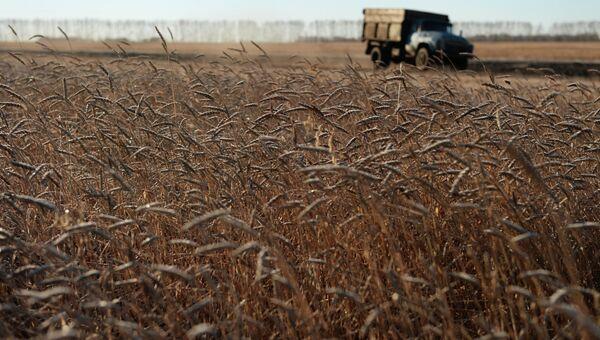 Пшеница в поле недалеко от села Мышланка Новосибирской области. Архивное фото