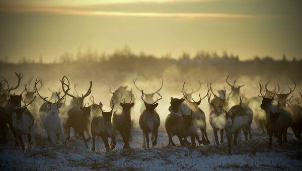 Выпас оленей в Ненецком автономном округе. Архивное фото