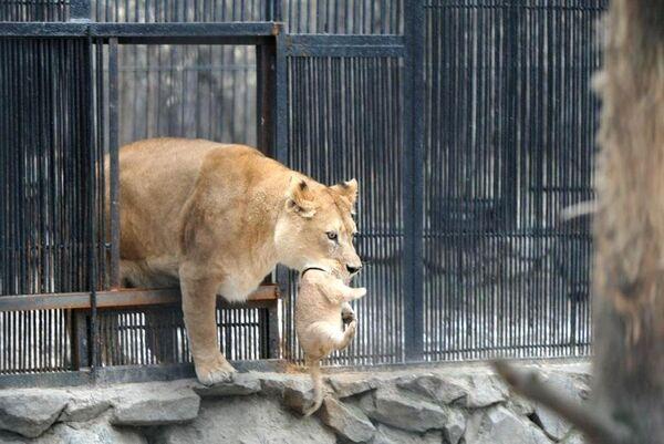 Чета новосибирских львов показала двойню малышей посетителям зоопарка