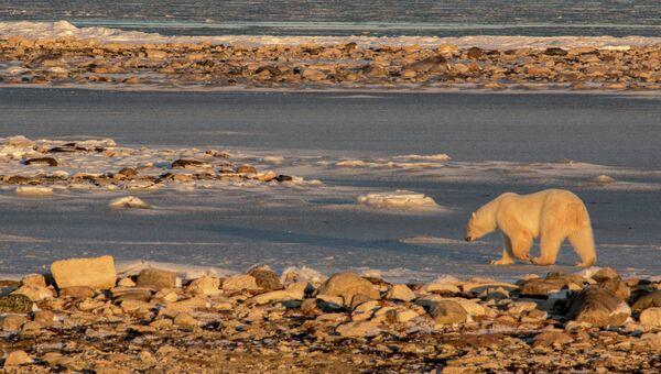 Дикий белый медведь, архивное фото