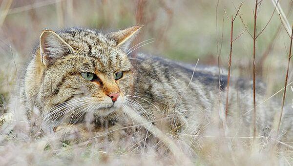 Один из подвидов диких кошек, обитающих на территории Ближнего Востока и Северной Африки