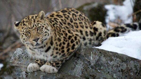 Дальневосточный леопард «в белых перчатках» в заповеднике «Кедровая падь» в Приморье. Архивное фото