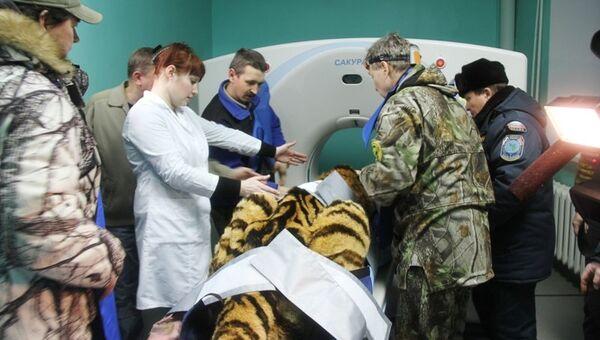 Лапы найденного в тайге амурского тигра могли отказать из-за инфекции. Фото с места события