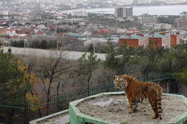 Тигрица в вольере Сафари-парка в Геленджике