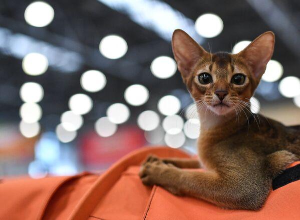 Международная выставка кошек Кэтсбург 2016