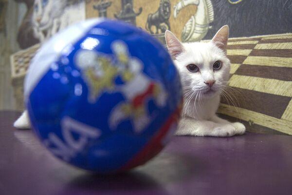 Эрмитажный кот-оракул Ахилл, работающий в Эрмитаже